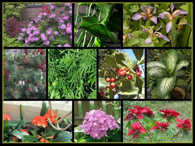 Plantas t xicas en nuestro hogar podcast for Plantas ornamentales con sus nombres lamina