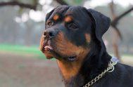 14/08/2019 –Ante la problemática planteada por los casos de perros que atacan a sus dueños o a terceros, entrevistamos a Sebastián Ábalos, educador…
