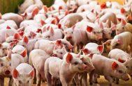 28/07/2020 –La iniciativa que trascendió desde el Gobierno, implicaría multiplicar la producción local de cerdos, para luego exportar la carne a China, donde…