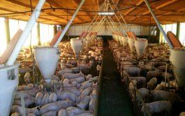 """21/09/2020 – En """"Cuidar la Creación"""" el especialista Agustín Luna analizó la posibilidad de la cría de cerdos en Argentina…"""